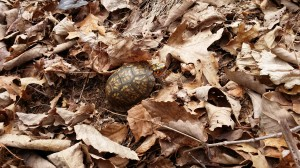 Box turtle2_23_March