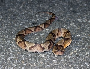Copperhead found on the Blue Ridge Parkway