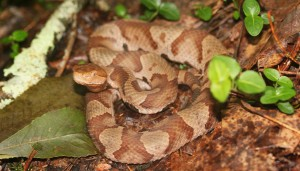 Copperhead found at a field site