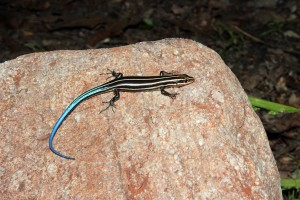 Juvenile skink found in northern Virginia