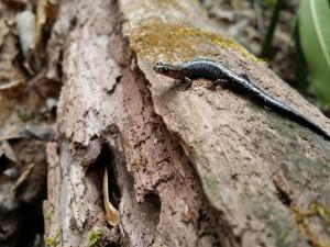 Wellers Salamander